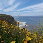 Photo of sunflowers above a beach on the Palos Verdes Peninsula